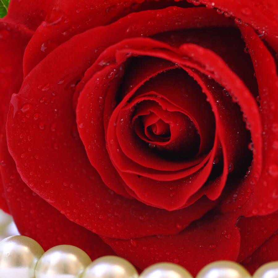 Rose FO