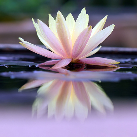 Moonlit Lotus FO