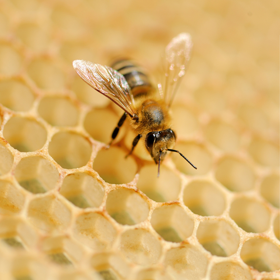 Bee Absolute
