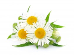 Chamomile Essential Oil - Roman - USA *