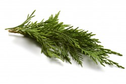 Cypress Essential Oil *
