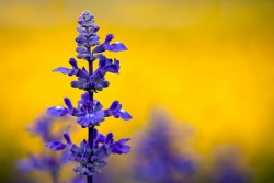 Clary Sage Essential Oil *