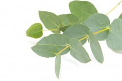 Eucalyptus Essential Oil *