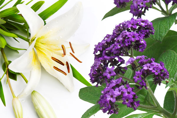 Heliotrope & Lily Fragrance Oil