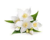 Jasmine Grandiflorum Floral Wax