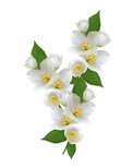 Jasmine Sambac Floral Wax