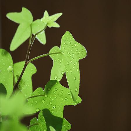 Rain Kissed Ivy